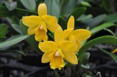 Cattleya - hybrid - Flickr - Photo Sharing!