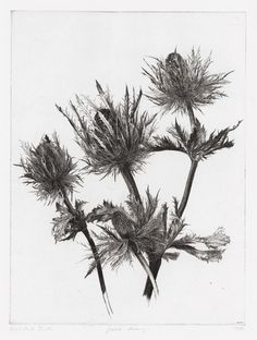 Jakob Demus I Large Eryngium I 1988 I Diamond drypoint Botanical Drawings, Botanical Illustration, Botanical Prints, Illustration Art, Thistle Tattoo, Ink Pen Drawings, Graphite Drawings, No Rain, Flower Art