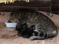 2013, 17 Sep:  Claire & her 5 six-hrs-old kittens (... suggestions for their names??)