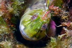 - * Molly Miller Blenny * - This is a species of fish of the Blenniidae family (Combtooth blennies). It can be found in the Atlantic, Mediterranean and Northwest Pacific - Underwater Fish, Underwater Creatures, Underwater Photos, Underwater World, Underwater Photography, Weird Sea Creatures, Ocean Creatures, Wild Animals Photos, Salt Water Fish