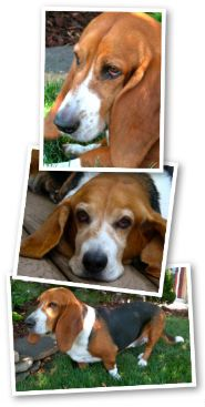 Owning a Basset Hound - some general mistakes not to make with a basset baby...