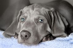 What a beautiful Weim:)! <3