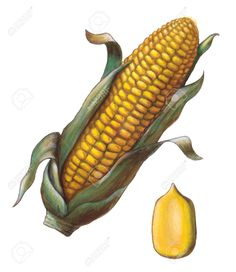 Corn Cob And Kernel. Stock Photo, Picture And Royalty Free Image. Watercolor Fruit, Watercolor Flowers, Agriculture Pictures, Corn Drawing, Burger Drawing, Graffiti, Corn Plant, Fall Art Projects, Mini Canvas Art