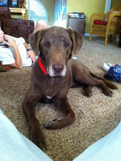 "DOG MISSING - NORTHPORT, AL: female chocolate lab named ""Scout"" missing since 5/5/12 from Northwood Lake in Northport, AL. Not wearing a collar. Contact: (205) 454-3551    E-mail address: ccameron75@gmail.com"