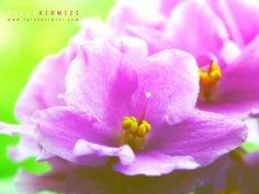 500px'te Faruk Kırmızı tarafından Violet fotoğrafı #violet