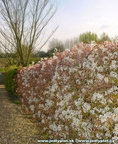 Hedge: Deciduous option - Amelanchier lamarckii (has several changes and interesting) all year round Hedges, Pansies, Berries, Backyard, Pictures, Ballerina, Diana, Garden Ideas, Park