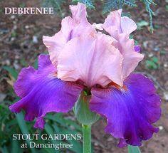 "(William Maryott 1995) Tall bearded iris, 36"" (91 cm), EM. S. light lavender with hint of pink; F. smooth medium violet maroon; beards tangerine; sweet fragrance. Sdlg. S195C: Mariachi Music X Twice T"
