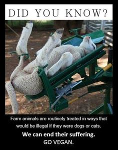 #Mulesing When domesticated sheep can not shed their fleece themselves, their wool will grow longer and longer while flies lay eggs in the moist folds of their skin. The hatched maggots can eat the sheep alive. Without anesthesia large strips of flesh are
