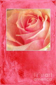 'Rosy' #pink #rose #photo by Randi Grace Nilsberg
