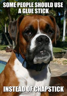 Sparks the boxer dog with the funny meme & harsh but true! Source by The post Hilarious Boxer Dog Meme! appeared first on Hannah Dogs. Boxer Memes, Boxer Dog Quotes, Boxer Dogs Facts, Boxer Dog Breed, Dog Memes, Dog Humor, Brindle Boxer, Black Boxer Dog, White Boxer Puppies
