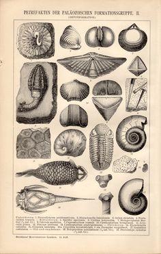 1898 Seashells & Fossils Antique Print Paleozoic by Craftissimo