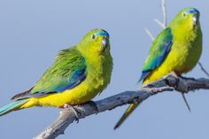 Orange bellied parrot | Explore Tindo2's photos on Flickr. T… | Flickr - Photo Sharing!