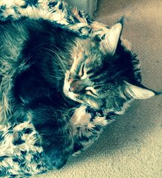 Basil the Great is a 4.5 years old Maine Coon. .