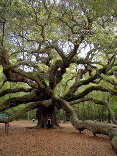 1500 year old oak. Angel Oak Tree is located near the intersection of the Maybank Hwy and the Bohicket Road on Johns Island, SC  #tree #1500 years old #old oak #Angel Oak #Johns Island #SC