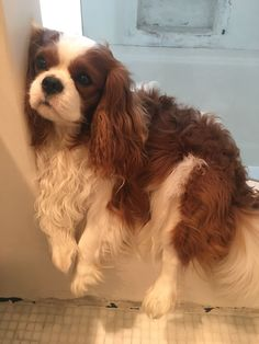 All the things we love about the Smart Cavalier King Charles Spaniel Puppies Perro Cocker Spaniel, Cavalier King Spaniel, Spaniel Puppies, King Charles Puppy, Cavalier King Charles Dog, Cute Puppies, Cute Dogs, Beautiful Dogs, Cute Baby Animals