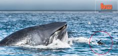 Outdoors 720: Bryde's whale nearly swallows diver off South Afri...
