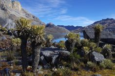 Lots of frailejones at Camp 3 on the Sierra Nevada del Cocuy in Colombia