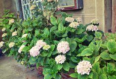 Hortensiat on istutettu vanhoihin peltitynnyreihin