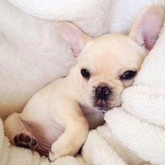 French Bulldog Puppy, via We Heart It.