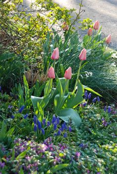 Tulip 'Apricot Impression', blue Muscari armenicum, and pink blooming Lamium maculatum  in our Driveway Garden. ~WMG