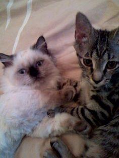 Mimi and Gigi. #persian #himalayan #cat #tabby #kitty
