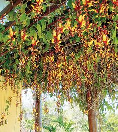 A espécie sapatinho-de-judia exige pleno sol ou meia-sombra, mas sua floração é intensa quando fica exposta diretamente ao sol. Suas inflorescências são pendentes, como penduricalhos, e floresce na primavera e no verão. Uma curiosidade: atrai muitos beija