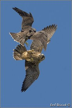 Peregrine Falcon - Aerial maneuvers | Flickr - Photo Sharing!