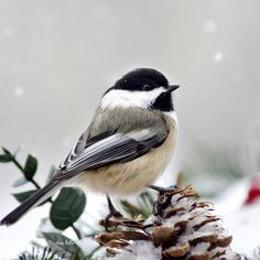 Bird Photograph - Winter Chickadee Square by Christina Rollo