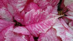 Love all the detail in the Ruby Frost Poinsettia.#nanticokegardens