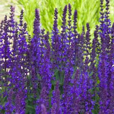 Blue Queen Salvia  | Spring Hill Nurseries