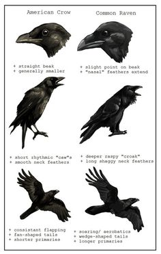 American Crow vs Common Raven Corneille d'Amérique vs grand corbeau Love Birds, Beautiful Birds, Beautiful Creatures, Quoth The Raven, Creation Art, Raven Art, Crow Or Raven, Pet Raven, Jackdaw