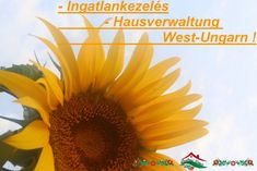 Landhaus-Ingatlankezelés Győr és környékén ! Sok éves szakmai tapasztalattal, végzettséggel, német-svájci ügyfél referenciával, vállalok: INGATLANKEZELÉST kizárólag: Győr és környékén, akár teljeskörű ügyintézést német nyelven. www.gyoriingatlanok.hu www.dieungarnimmobilien.de Lux Cecília Plants, Hungary, Real Estates, Environment, Farmhouse, City, Plant, Planets