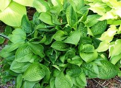 Quilting Bee Hosta - Shade Perennial Medium Hosta Plant