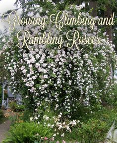 Roses At Heirloom Your Source For Rose Bushes Climbing New Dawn And Plants