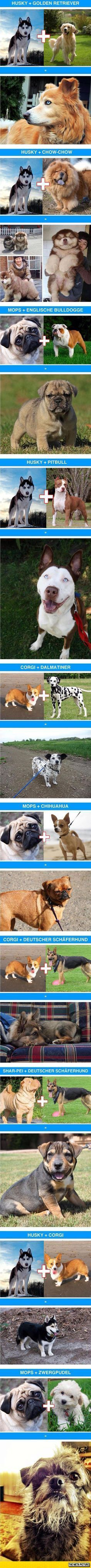 I'm not big on cross breeding but some of these are sooo cute, especially the Corgi/Dalmation! ~ Awesome Dog Cross-Breeds #dogsfunnyhilarious