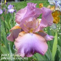 May Delight   Historic Iris Preservation Society