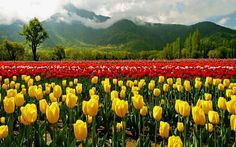 Amazing Kashmir Tour Package - Book or customize 8 days Kashmir India Tour Package, Srinagar Pahalgam Gulmarg Sonmarg Tour Packages, Kashmir Holiday Packages with HolidaysAt and get discounted deals on early bookings Indira Gandhi, Srinagar, National Park Tours, National Parks, Tulips Garden, India Tour, Paradise On Earth, Tourist Places, Travel Tours