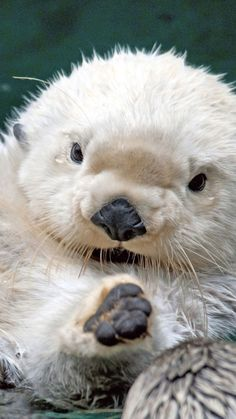 wet, white, cool ❤ [Ive never seen a white beaver, maybe thats why this looks like a sea otter. Ive never seen a white sea otter either, though. The Animals, My Animal, Cute Baby Animals, Funny Animals, Animals Tumblr, Cutest Animals, Cute Creatures, Beautiful Creatures, Animals Beautiful