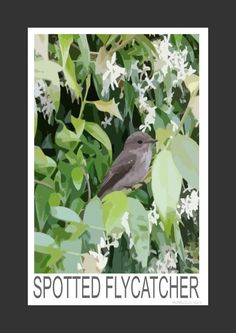 Spotted Flycatcher (Art Print)