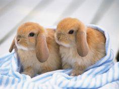 filhotes de coelho - Pesquisa do Google
