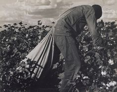 """Dorothea Lange, """"Migratory field worker picking cotton in San Joaquin Valley, California,"""" November gelatin silver print, printed later image Dorothea Lange Photography, Picking Cotton, Photography Timeline, San Joaquin Valley, Creativity Exercises, Cotton Fields, Dust Bowl, Getty Museum, Gelatin Silver Print"""
