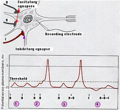 """Temporal & Spatial Summation       1) The EPSP created by a single excitatory synapse is insufficient to reach the threshold of the neuron.    2) EPSPs created in quick succession, however, add together (""""summation""""). If they reach threshold, an action potential is generated.    3) The EPSPs created by separate excitatory synapses (A + B) can also be added together to reach threshold.    4) Activation of inhibitory synapses (C) makes the resting potential of the neuron more negative. The…"""