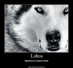 Amo a los lobos