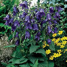 "Campanula punctata 'Sarastro' (bellflower). Sun to part sun. Height: 15"" to 18"", width: 18"" to 24"". Perennial. 