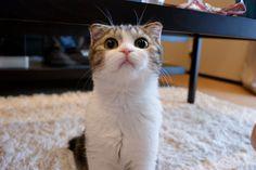 cute scottish fold kitten cat pic