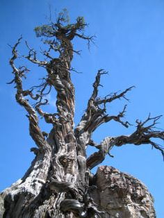 ~ Old Juniper Trail ~ Trails of Northern Utah....Tree is over 3,200 year old....