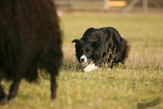 Black and white border collie working the focus of his stare a black sheep. White Border Collie, Border Collies, All Dogs, Best Dogs, Nice Dogs, Border Collie Pictures, Real Dog, Herding Dogs, Best Dog Breeds