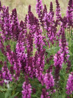 """Salvia nemorosa Rose Queen, 20"""", early summer to late summer"""