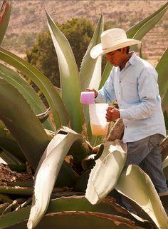 Maguey para hacer pulque. Una bebida sagrada en México