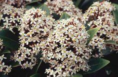 RHS Plant Selector Skimmia japonica 'Rubella' Feb March April Evergreen